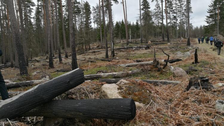 En grupp männinskor går på en skogsvag i brännd skog. Sotiga trädstammar ligger på marken.