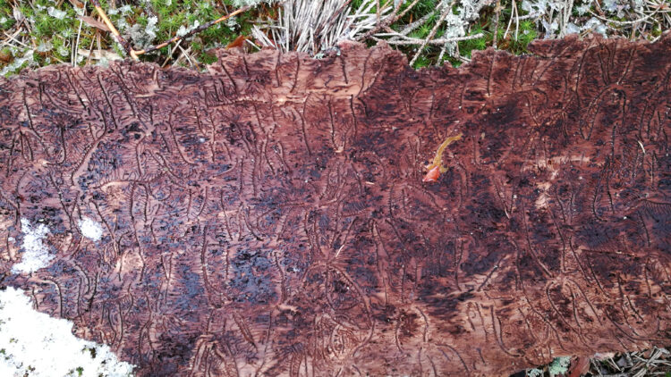 Spår av insekter som gnagt under barken på ett träd.