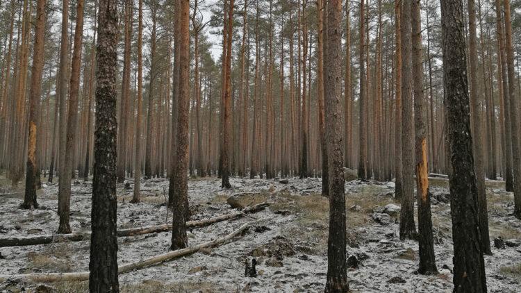 Tallar med sotiga stammar. Ett tunnt lager snö på marken mellan tallarna.