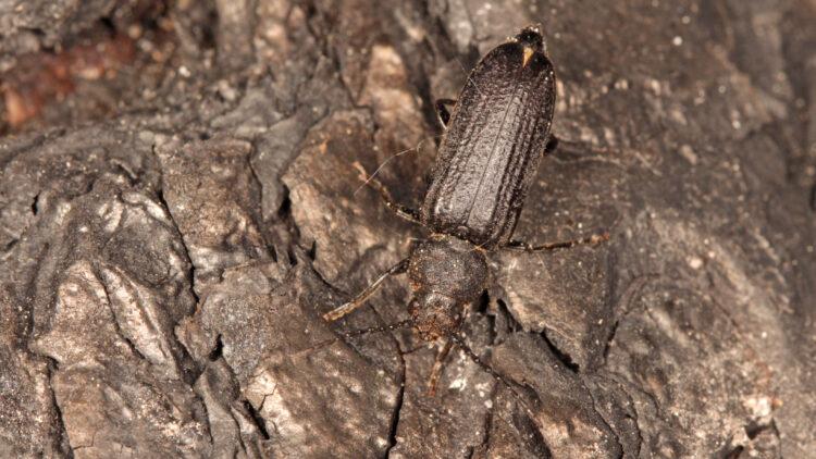 Skalbagge av arten barkbock på bränd mark.