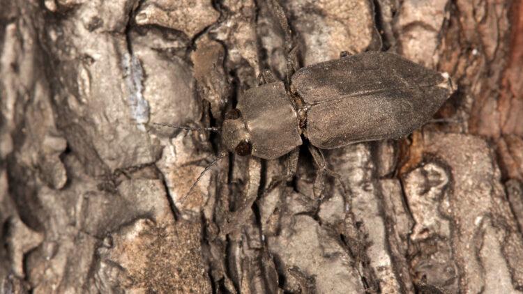 Skalbagge av arten sotsvart praktbagge på bränd mark.