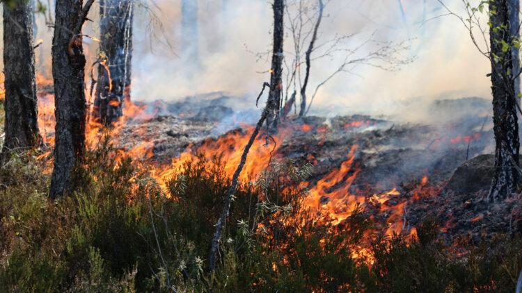 Eld brinner som i en linje. Bakom elden är marken svart och ryker. Famför elden syn ris av blåbär, lingon och ljung.