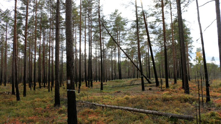 Tallar med sotiga stammar på en lingon- och blåbärsrisklädd mark.