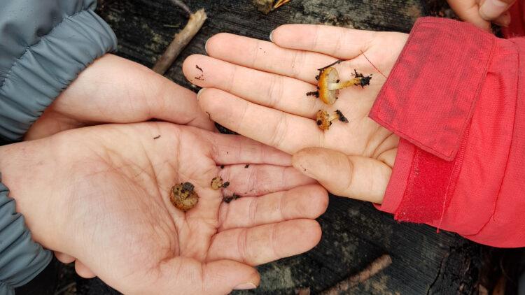 Barnhäder och vuxenhander som visar upp svampar.