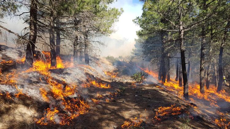 Slänt med tallar. Marken bland tallarna brinner med låga lågor.