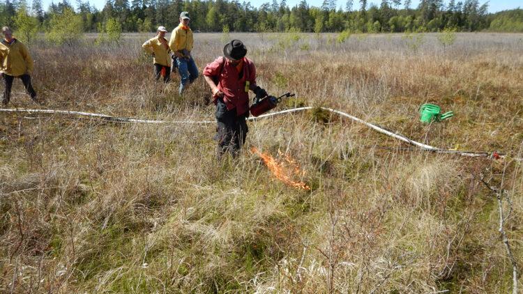 Man i röd skjorta täder eld på tort gräs på en myr. Runt honom står tre andra klädda i gula skjortor och ser på.
