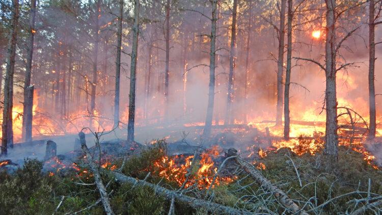 Eld brinner bland och upp i smala tallar
