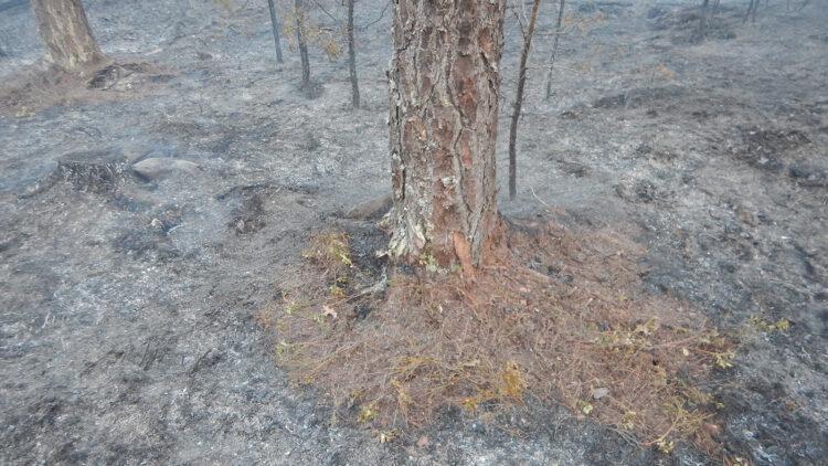 Trädstam som det brunnit runt.