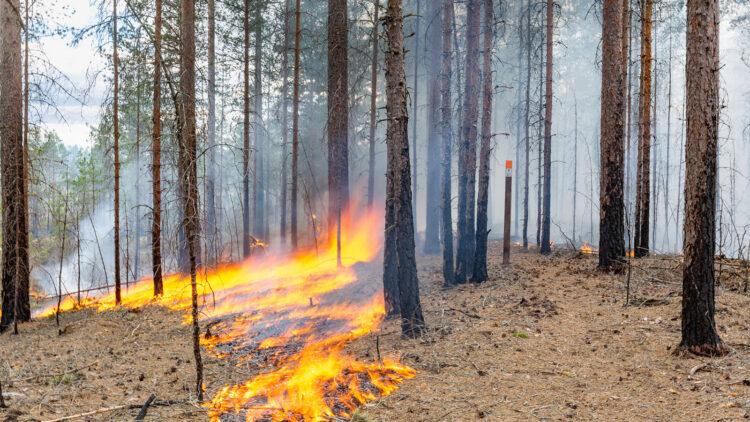 Eld kryper längs marken mellan tallstammar.
