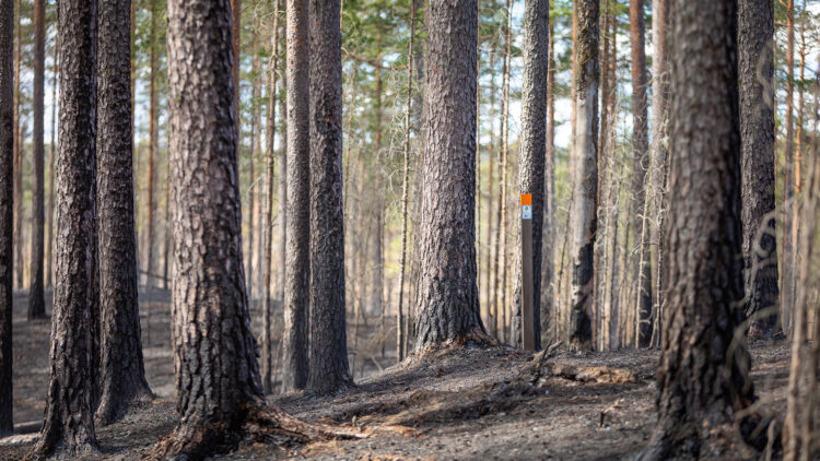 Ledstople med orange topp står ensam balnd sotiga tallstammar och grå mark.