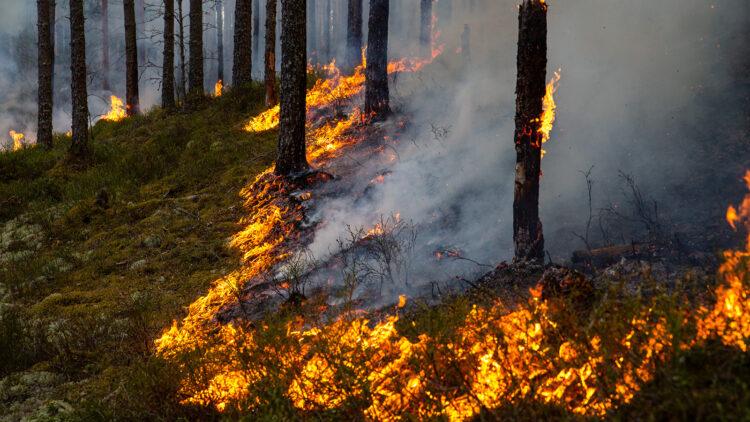 Eldlinje kryper mot vinden. Rök silar genom skogen.