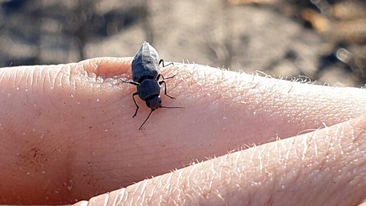 En drygt centimeterstor svart skalbagge sitter på ett finger.